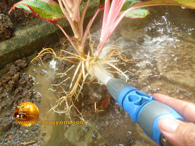 Semprot bagian akar tanaman bunga agar akar terlihat