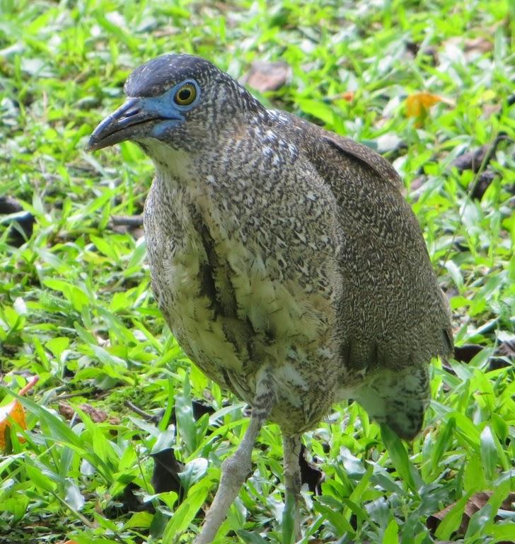 Malaysian Night Heron (Gorsachius melanolophus)