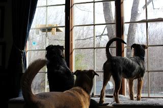 Three dogs watching birds