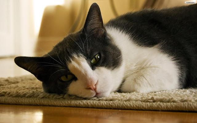 Những hình ảnh mèo đẹp và dễ thương nhất