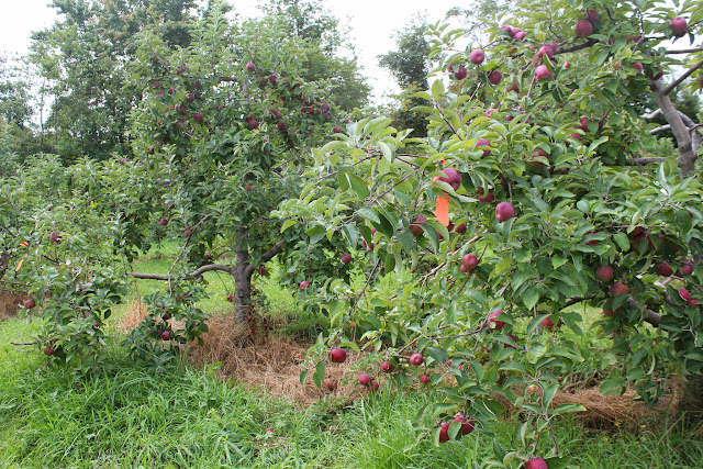 Apple trees at Drew Farm
