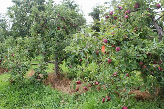 Apple trees at Drew Farm
