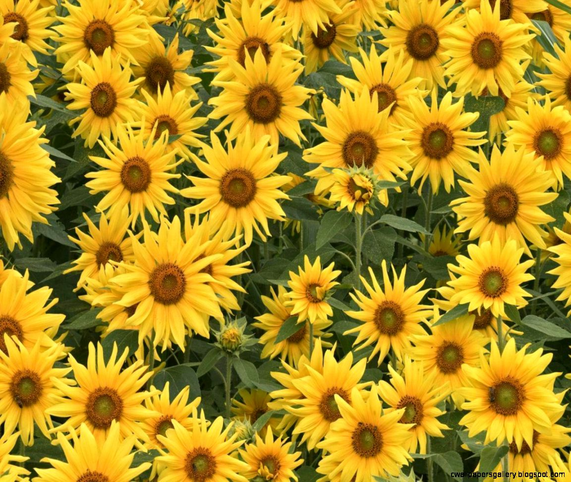 Sunflowers Tumblr Background