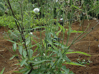 manfaat tempuyang, tanaman tempuyang, manfaat tempuyang
