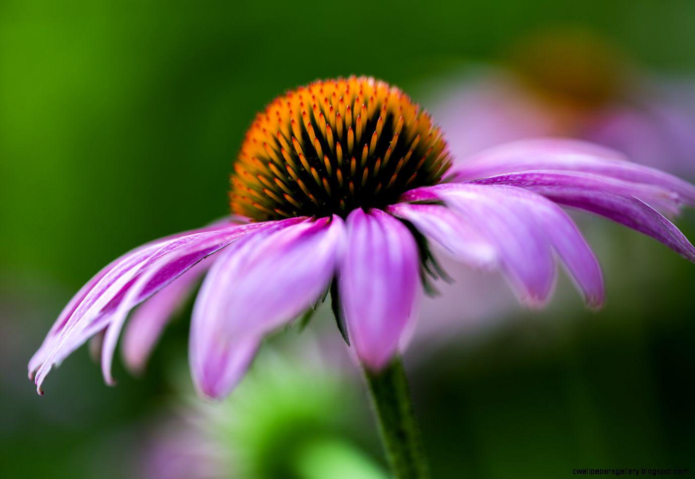 coneflower « Madison Indiana Photography