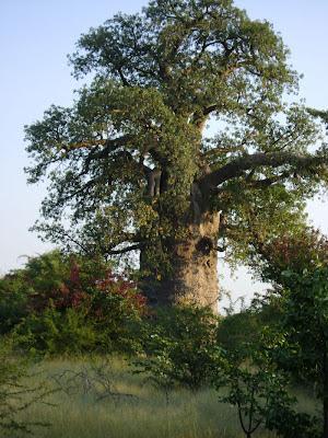 Widok baobabu w promieniach zachodzącego słońca