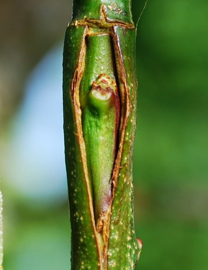 Growing greener in the pacific northwest bud grafting