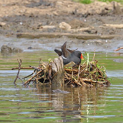 moorhen in nest