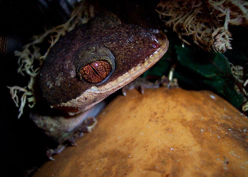 Cicak Giant Bent-Toed Gecko - Cyrtodactylus irianjayaensis