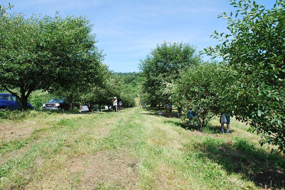 Just the right size sour cherry picking for Where can i go apple picking near me
