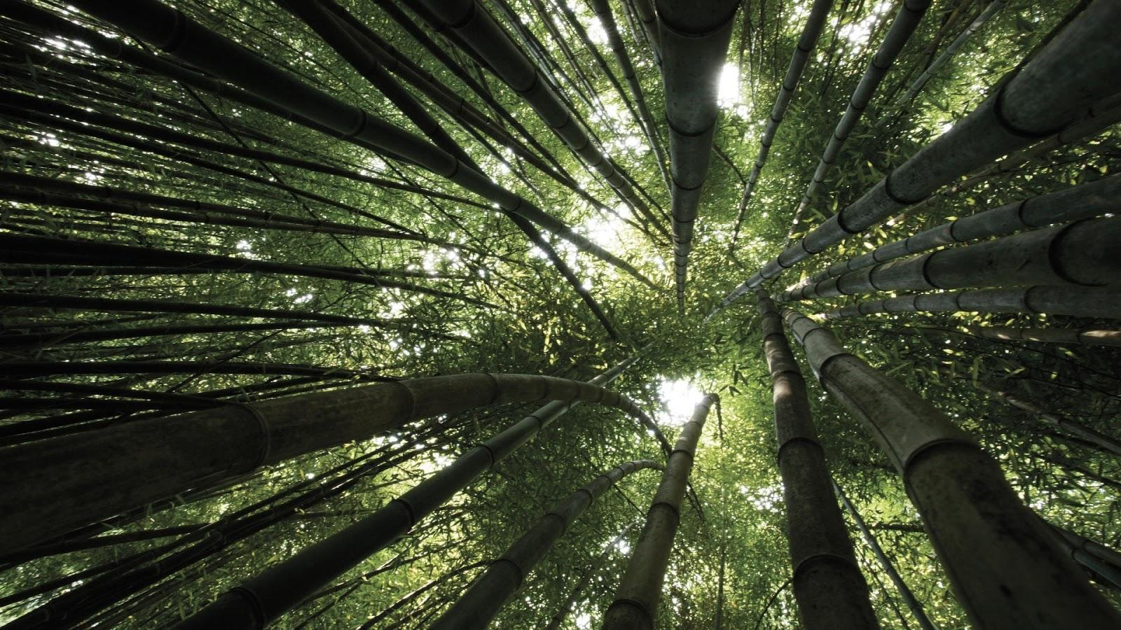 http://3.bp.blogspot.com/-uhe4JniGQHc/T46BTsJn4-I/AAAAAAAADQk/1QydfQD0m_c/s1600/bamboo-forest-canopy-windows-8-wallpaper-1920x1080.jpg