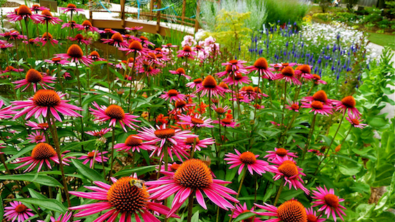 Echinacea purple cone flowers image taken at Green Bay Botanical Gardens Wisconsin