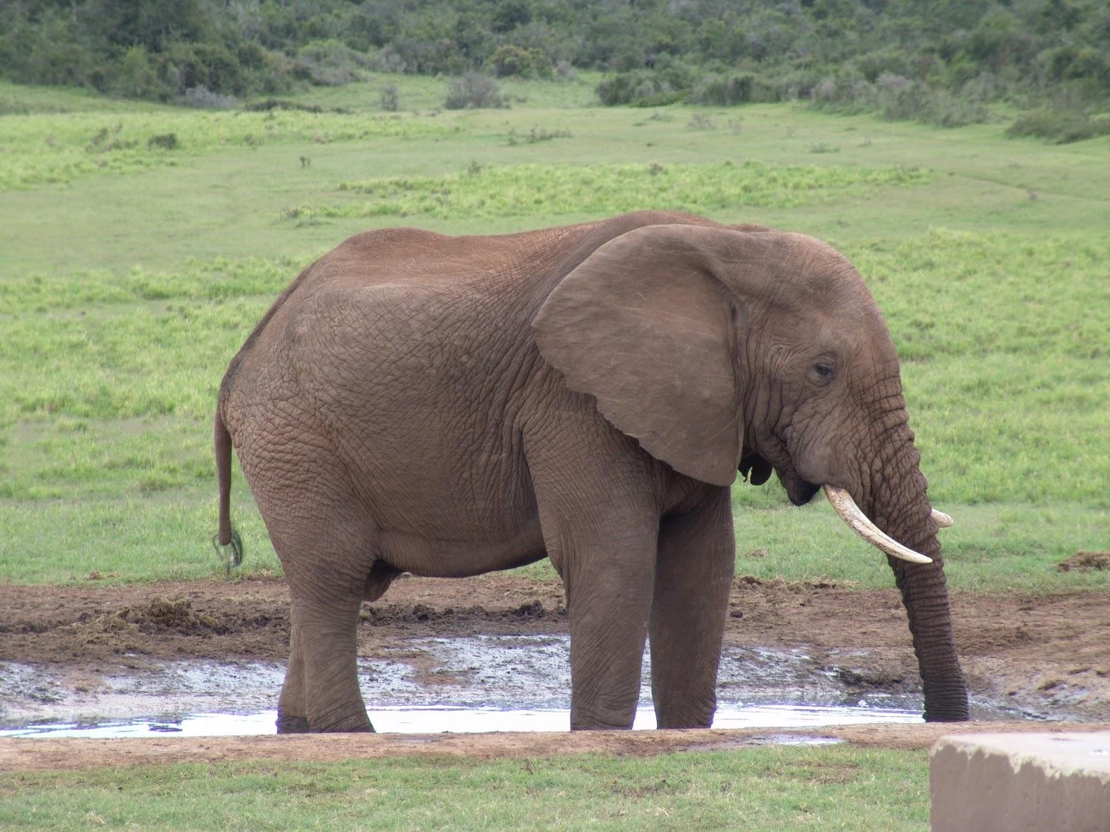 The Elephant | Innocen...