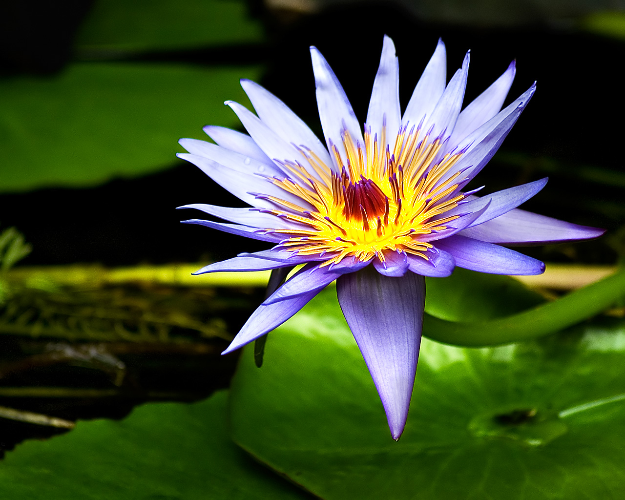 மீனு தரும் இயற்கை அழகு அன்பு மலர்கள்........ Lily+flower+wallpaper4