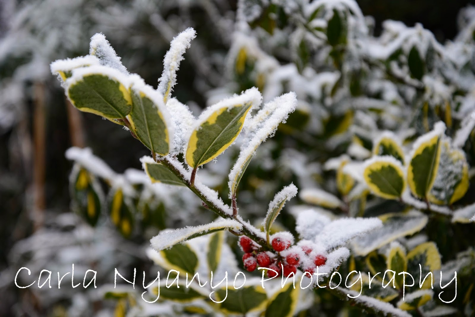 frosty leaves and berries