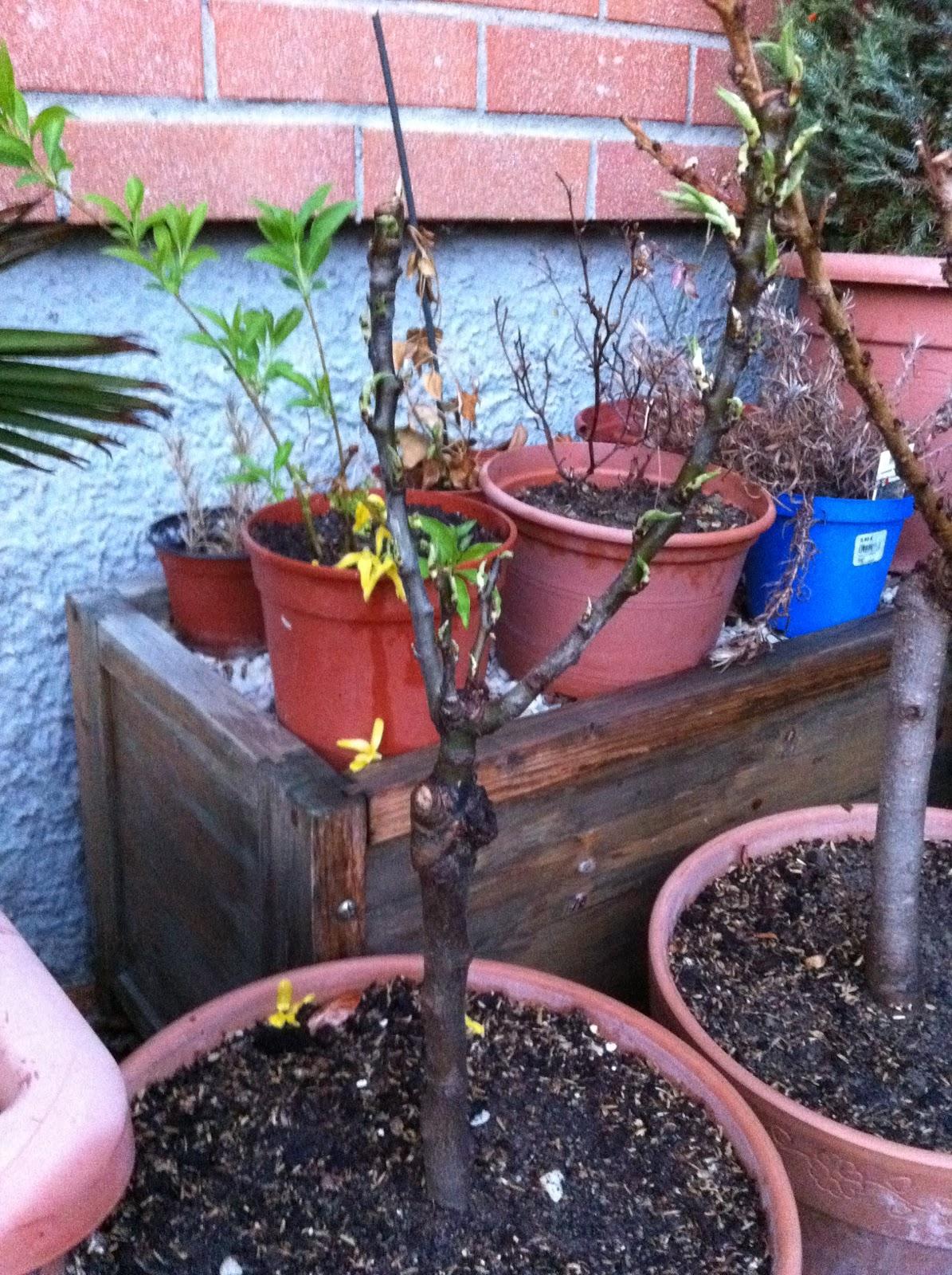 Io vivo la natura e tu desideravo due piante da for Piante da frutta nane prezzi