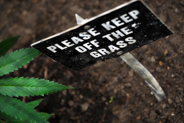 "Marijuana plant at The Alnwick Garden: sign reads ""Please keep off the grass"""