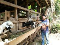 Panduan Cara Budidaya Kambing atau Domba Pedaging Cepat Gemuk
