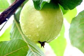fresh_guava_suppliers