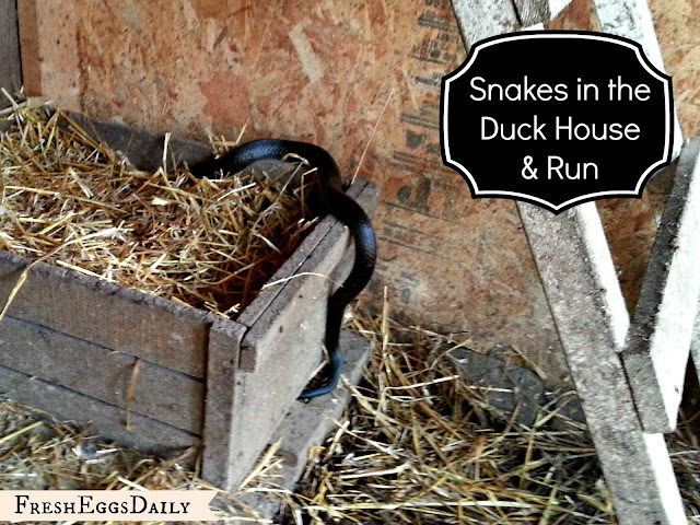 Snake in the duck house 9 tips to help repel snakes for Can ducks and chickens share a coop