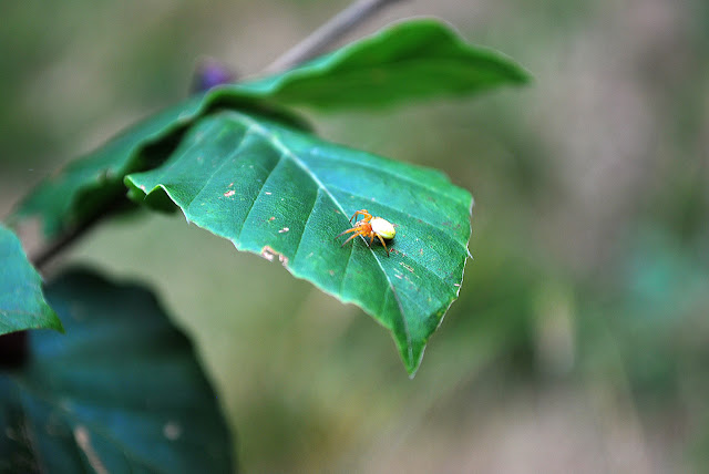 Spider on a green leaf