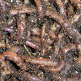 Add earthworms to your garden and build soil