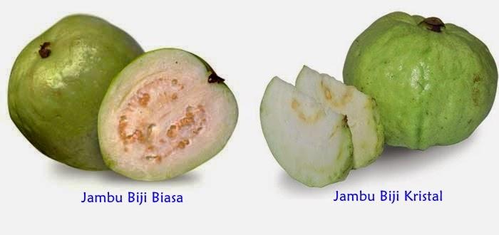 """<img src=""""Jambu biji kristal.jpg"""" alt=""""Jambu Biji Kristal"""">"""