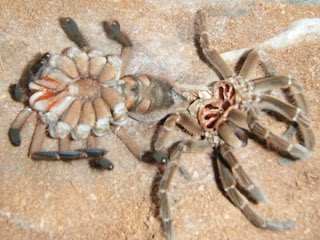 Goliath Birdeater Tarantula Molting