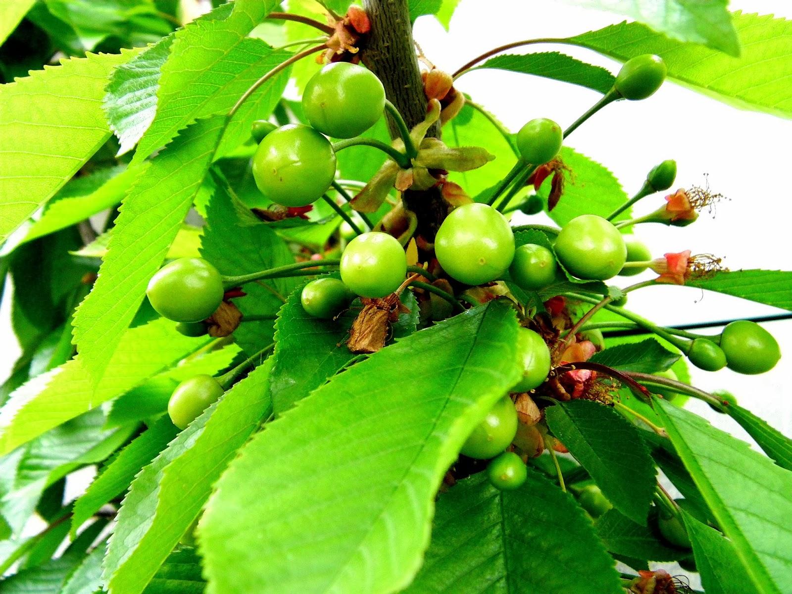 Les secrets de la taille et de la greffe des arbres fruitiers bio 04 petits secrets de la - Bouillie bordelaise sur arbres fruitiers en fleurs ...
