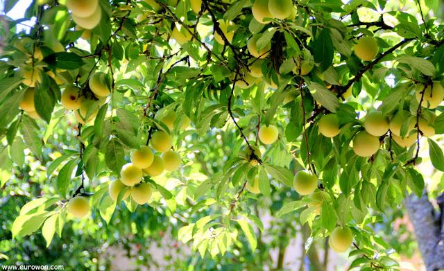 Ciruelo cargado de fruta en verano
