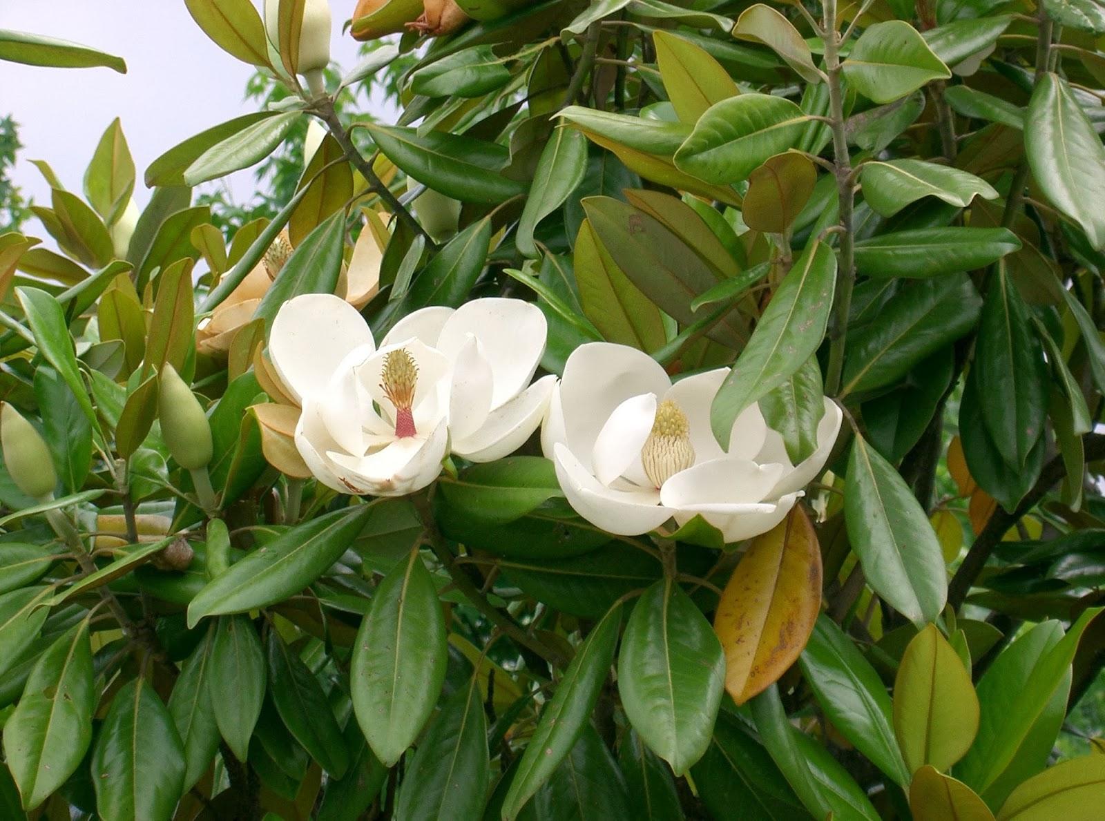 Peces y plantas ornamentales magnolia grandiflora magnolio - Magnolia planta cuidados ...