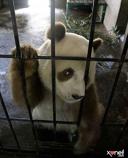 Tirinha Gordo Fresco  Pera A     Tem Alguma Coisa Errada  Urso Panda