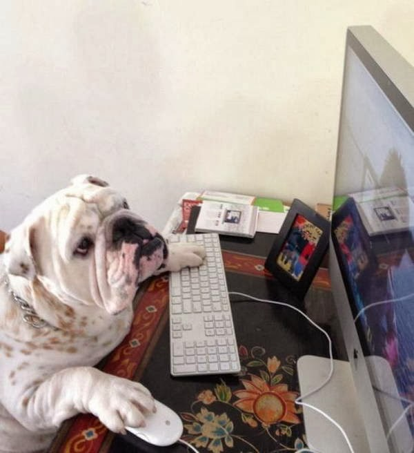 Cute dogs - part 8 (50 pics), bulldog uses computer