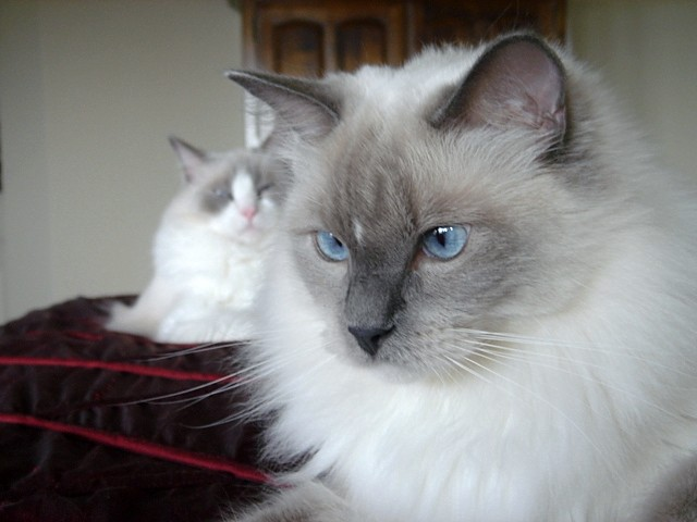 Most Beautiful Fluffy Cats Wallpapers Desktop Backgrounds furthermore L MN2zFUq6M furthermore URM2WN3msk0 further Ragdoll Cats further 0ZZ2rIa7IJU. on persian himalayan kittens