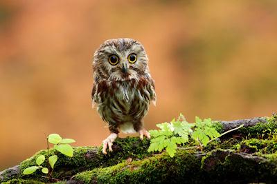 Conozca usted el pequeño búho de las praderas - Cute little owl