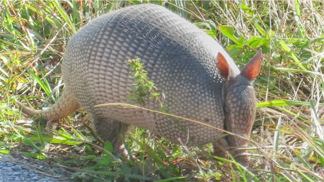 Nine Banded Armadillo Up Close