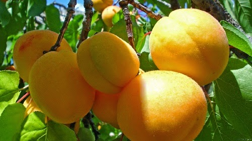 Kandungan gizi dan manfaat Aprikot bagi kesehatan tubuh