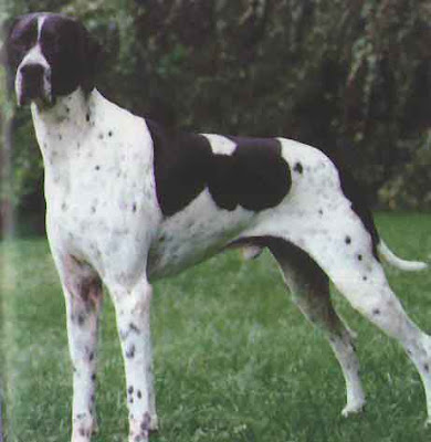 English Pointer Puppies on Dog Breed   Dog Breeds   Dog Pictures  English Pointer