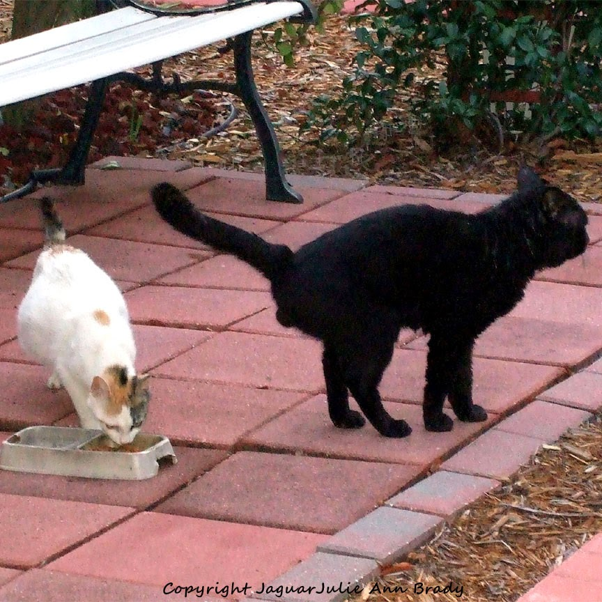 black male cat peeing on female white cat