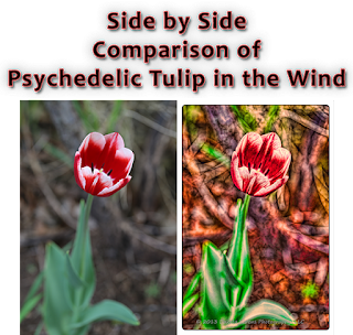 Side by Side Comparison of Psychedelic Tulip in the Wind: Dakota Visions Photography LLC on www.seeyoubehindthelens.com
