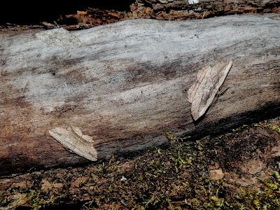 Menophra abruptaria & nycthemeraria