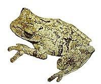 Sapo-Martelinho (Hyla biobeba)