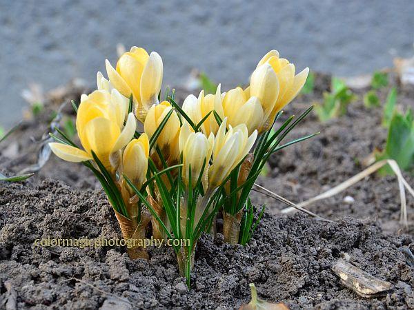Yellow crocus with closed flowers-Crocus luteus