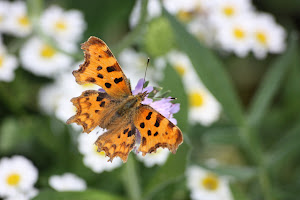 Click on the Comma butterfly, and she will take you to my garden..