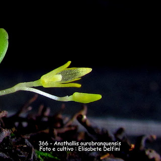 Anathallis ourobranquensis  do blogdabeteorquideas
