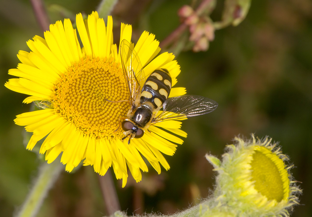 Hoverfly, Eupeodes luniger, female, on Common Fleabane, Pulicaria disenterica.  25 July 2014.
