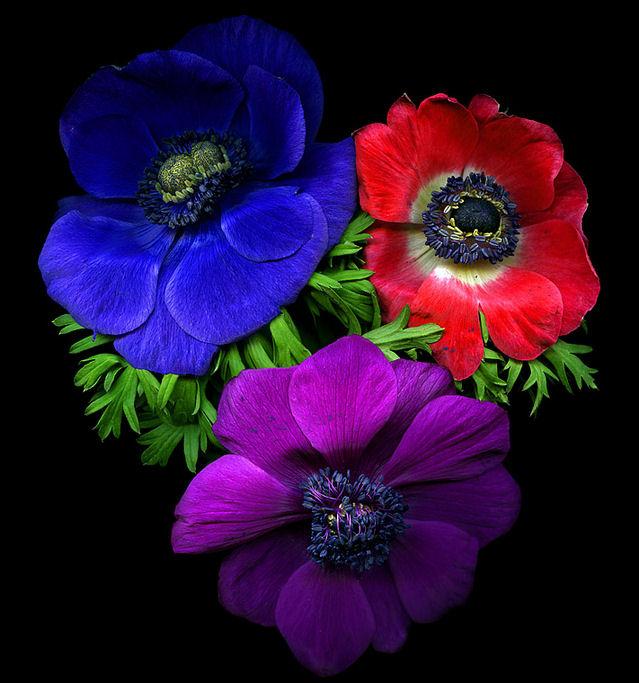 Banco de im genes an monas de colores flores hermosas - Fotos de rosas de colores ...