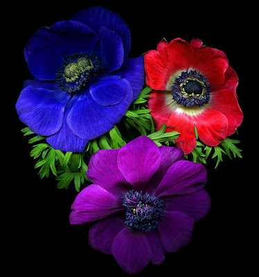 Anémonas de colores - Flores Hermosas