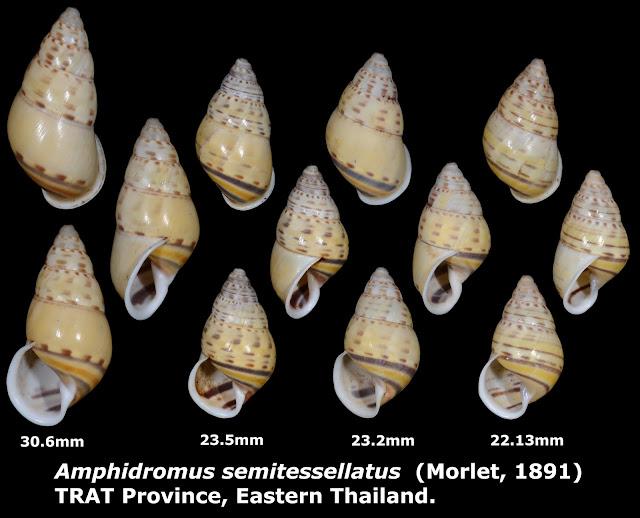 Amphidromus semitessellatus 22.13 to 30.6mm