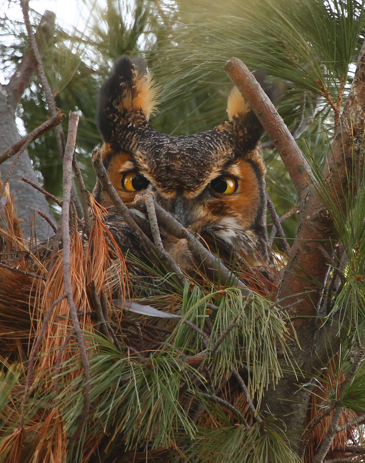 how to find a great horned owl nest